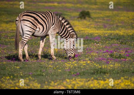 Plains zebra (Equus quagga) grazing spring flowers, Addo Elephant national park, Eastern Cape, South Africa, September 2018 - Stock Image