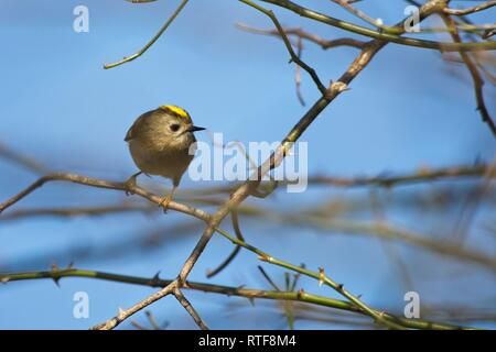 Goldcrest (Regulus regulus) among the branches of a Hawthorn tree, Sussex, UK - Stock Image