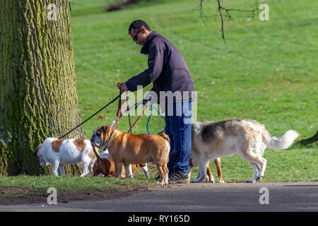 Northampton. U.K. 11th March 2019. UK Weather: A man walking 6 dogs in Abington Park this afternoon enjoying the bright sunshine, there is a cold chill in the air when in the wind. Credit: Keith J Smith./Alamy Live News - Stock Image
