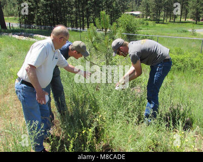 Larry Skillestad of USDA APHIS PPQ Spokane, Washington, oversees the release of lesser knapweed flower weevil (Larinus - Stock Image