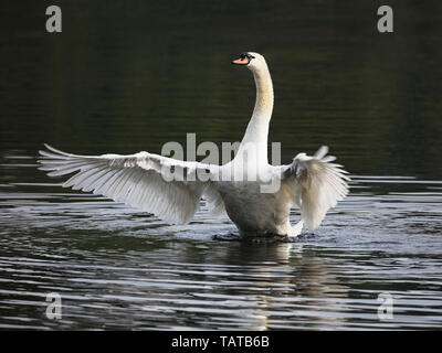 Male mute swan rising from water and flapping wings - Stock Image