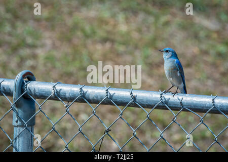 Female Mountain bluebird resting on chain link fence, Castle Rock Colorado US. Photo taken in April. - Stock Image