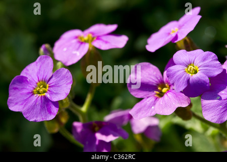 Lithospermum alpine rockery plant more commonly known as Gromwell. - Stock Image