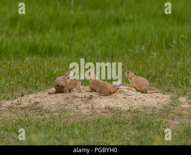 Family of Prairie Dogs Standing on Mound - Stock Image