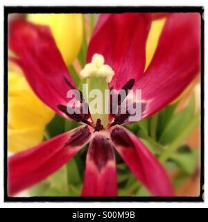 Close up of tulip with wilting petals. - Stock Image