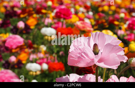 One ranunculus blossom stands out among a group of vibrant colored flowers. - Stock Image