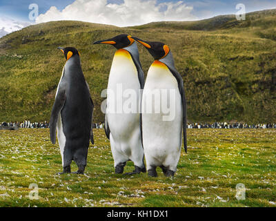Low angle view of three adult king penguins (aptenodytes patagonicus) standing together on the grassy flats of Salisbury - Stock Image