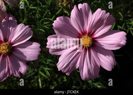 Daisy type flower in Jardin des Plantes, Boulevard du Jardin des Plantes, Amiens, France - Stock Image