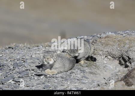 Two Pallas's Cats; one biting the other - Stock Image