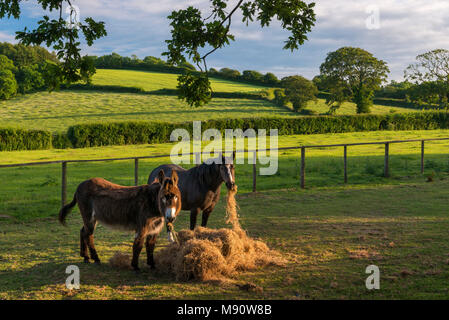 Donkey and Pony eating hay in a summer field, Devon, England. Summer (June) 2017. - Stock Image
