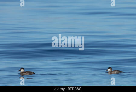 Two ruddy ducks (Oxyura jamaicensis) with a blue water background and lots of copy space - Stock Image