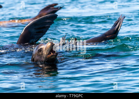 California sea lions (Zalophus californianus) thermalregulating by holding their flippers out of the water.  Baja California. - Stock Image