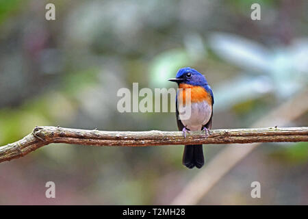 A male Indochinese Blue Flycatcher (Cyornis sumatrensis) in Western Thailand - formerly conspecific with Tickell's Blue Flycatcher - Stock Image