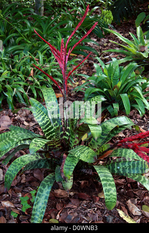 Bromeliad, Vriesea glutinosa, Bromeliaceae. Trinidad & Venezuela. Caribbean, Central America and Tropical South - Stock Image