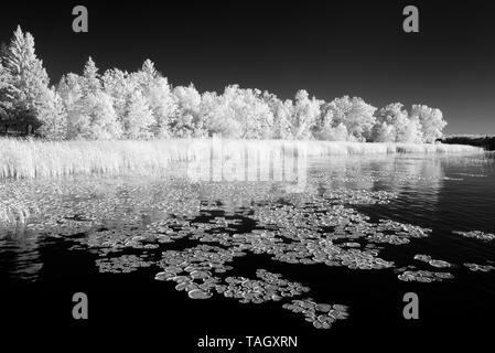 Waterlilies along the shoreline of Lake of the Woods Morson Ontario Canada - Stock Image