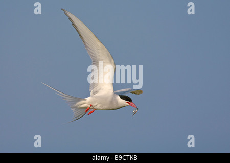 Arctic tern Sterna paradisaea summer adult in flight with sandeel - Stock Image