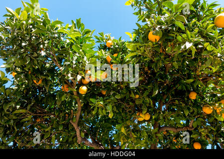 Oranges, low hanging fruit, growing in the town of Coin, in Costa del sol, Spain - Stock Image