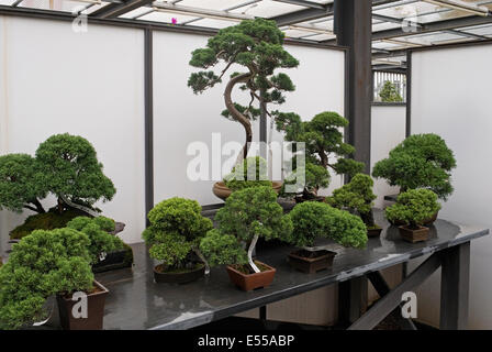 Bonsai trees in shop - Stock Image