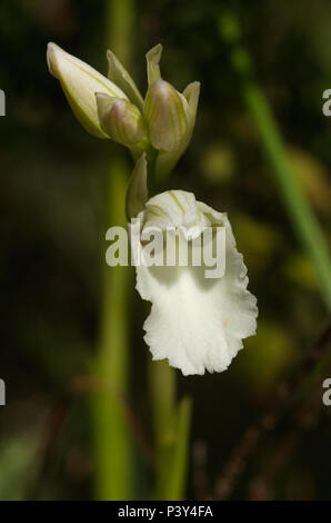 Frontal view of a flower of the rare albiflora - white - version of wild butterfly orchid (Anacamptis papilionacea aka Orchis papilionacea). Serra da  - Stock Image