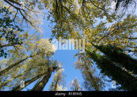 Tree canopy in autumn Milton park Cambridge UK 10/11/2018 - Stock Image