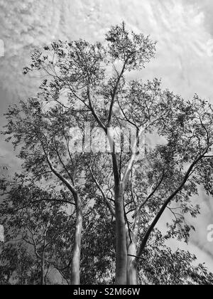 Beautiful large tree with sky backdrop, in black and white. - Stock Image