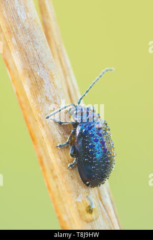 A dew-covered Flea Beetle (Altica sp.) perches on its overnight roost in the early morning. - Stock Image