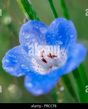 Baby Bue Eyes (Nemophila menziesii). Carrizo Plain National Monument, California - Stock Image