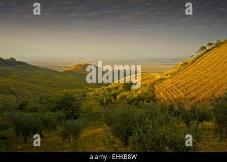 Olive groves, Gargano, Apulia, Italy - Stock Image