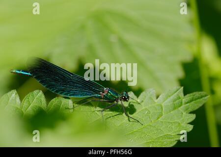 Calopteryx virgo, Beautiful Demoiselle dragonfly perched on riverside vegetation, Wales, UK - Stock Image