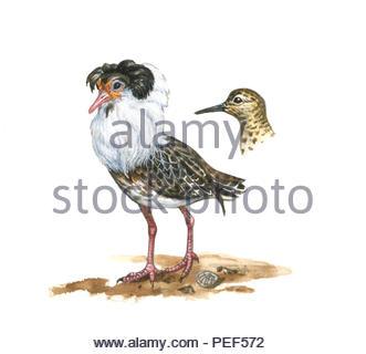 campbearers philmachus pugnax - Stock Image