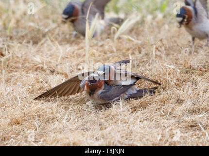 American Cliff Swallows Mating - Stock Image