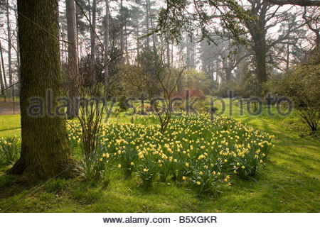 DAFFODILS FLOWERS NARCISSUS - Stock Image