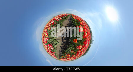 Tiny planet of beautiful flower field in the Netherlands - Stock Image