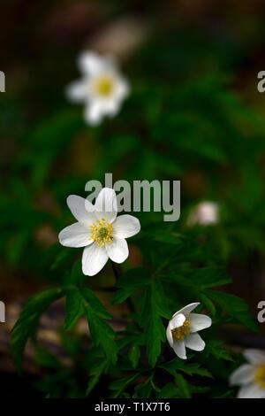 anemone nemorosa ,white flower,flowers,perennial,shade,shaded,shady,wood,woodland,plant,flowering,RM Floral - Stock Image