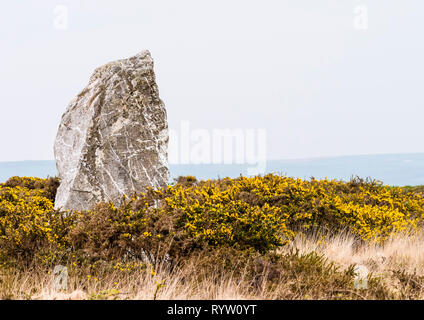 The neolithic standing stone known as St. Breock Downs monolith with flowering gorse and a misty horizon. - Stock Image