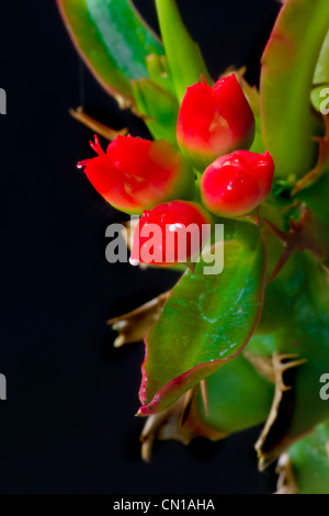 Cactus Flower Buds - Stock Image