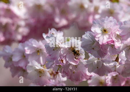 Honey bees collecting pollen from cherry blossom tree as the UK experiences unusally warm weather in late March - Stock Image