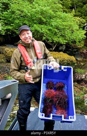 Harvesting spiny sea urchins (Echinoidea) along northern British Columbia coast - Stock Image