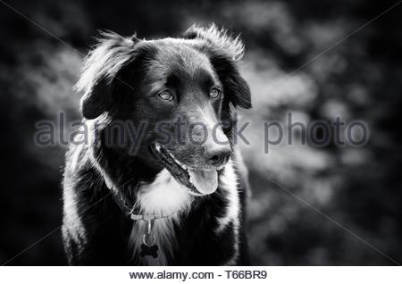 Isabella the Mixed breed dog - Stock Image