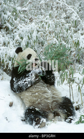 Giant panda lies back in snow after feeding, Wolong China, January. - Stock Image