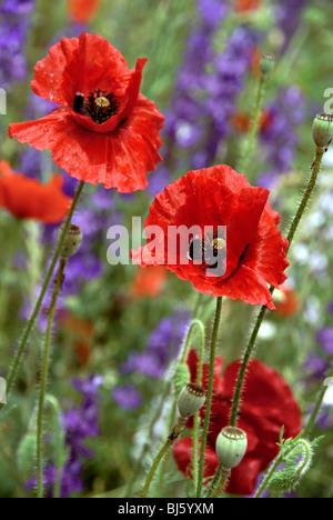 Red Poppy flowers in a field - Stock Image