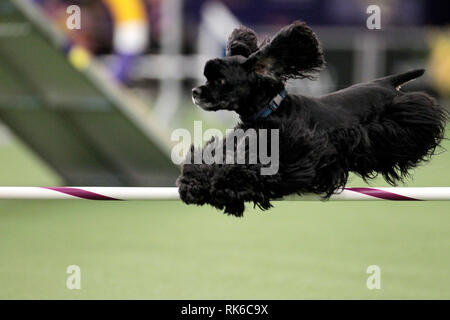 New York, USA. 09th Feb, 2019. Westminster Dog Show - Cody, a Cocker Spaniel, competing in the preliminaries of the Westminster Kennel Club's Master's Agility Championship. Credit: Adam Stoltman/Alamy Live News - Stock Image