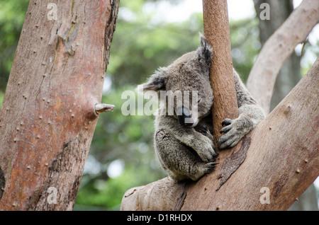 A koala sleeps on tree branches at Tarango Zoo in Sydney, Australia. - Stock Image