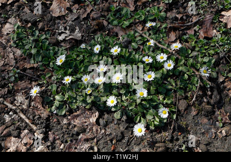 Daisys growing in woodland floor - Stock Image