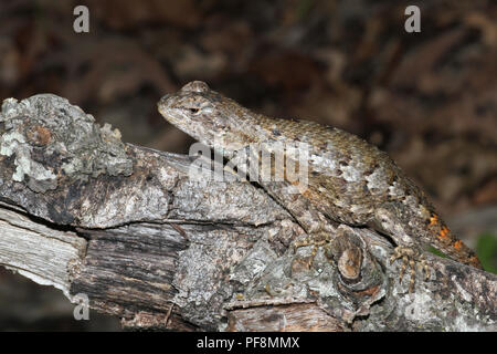 An eastern fence lizard illustrating cryptic coloration. - Stock Image