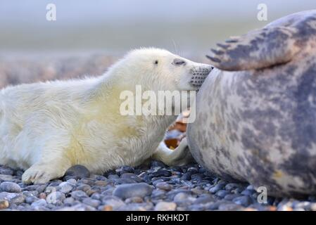 Grey seals (Halichoerus grypus), young animal is suckled by mother, Insel Düne, Helgoland , Lower Saxony, Germany - Stock Image