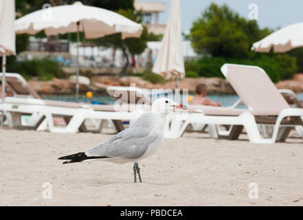 Audouin's Gull, (Ichthyaetus audouinii), looking for food scraps on Es Canar beach, Ibiza Island, Balearic Islands, Mediterranean Sea, Spain, Europe - Stock Image