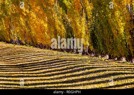 Autumn Lines Yellow poplar trees Canada scenic view - Stock Image