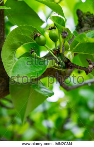 Fruits form after petals of Nashi pear tree (Pyrus pyrifolia kumoi) have fallen. - Stock Image