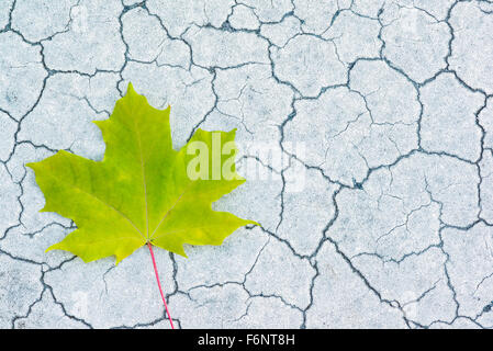 Light green maple leaf on cracked surface - Stock Image